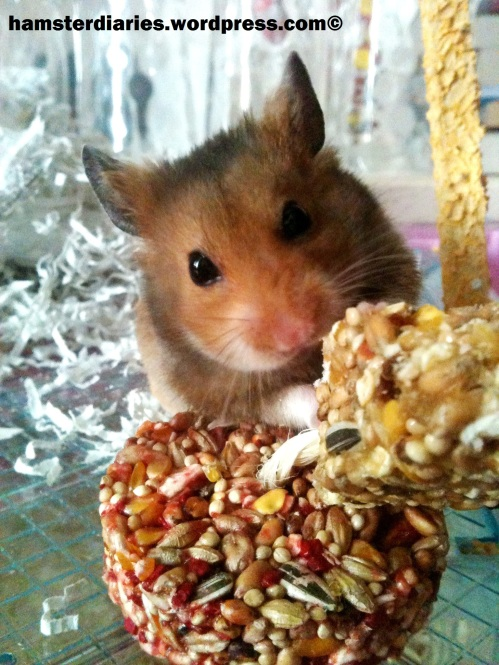 Dexter the Syrian Hamster in all his glory!