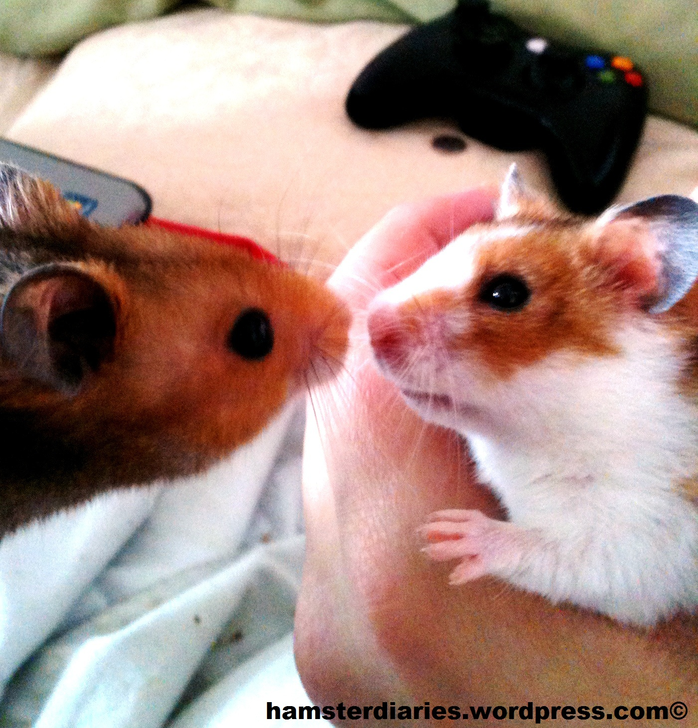 The Hamster Porn