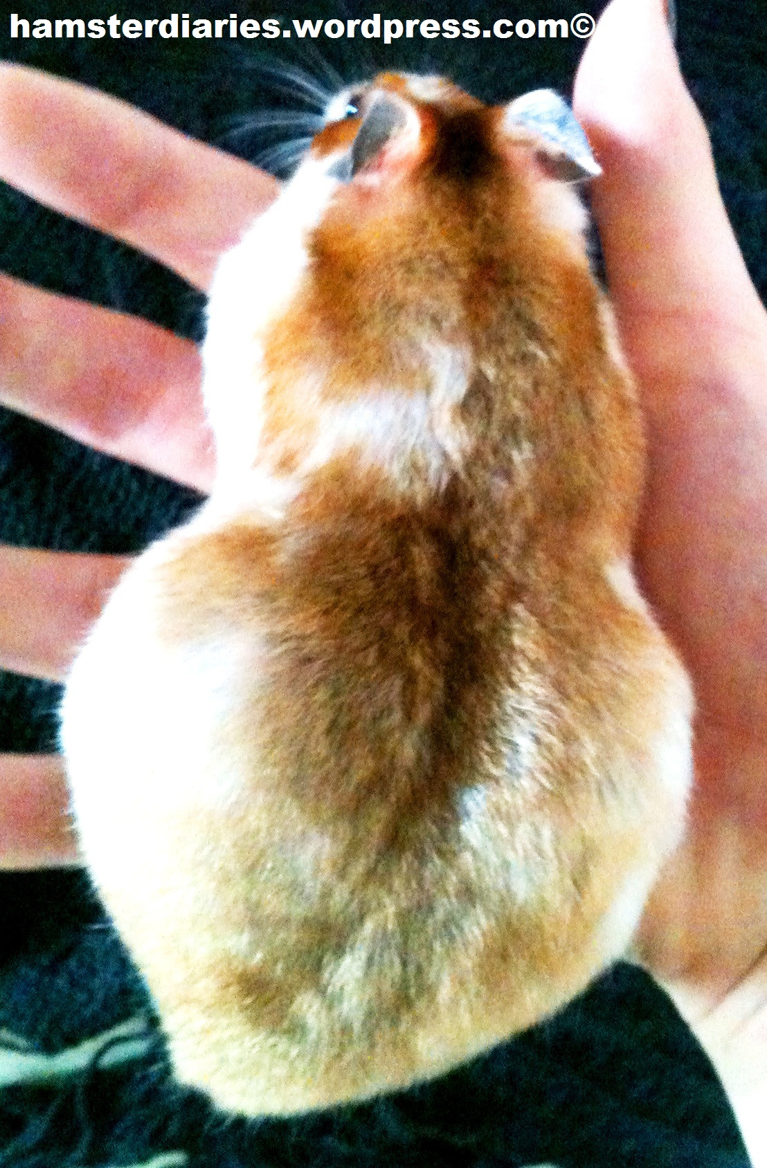 Pregnant Syrian Hamster