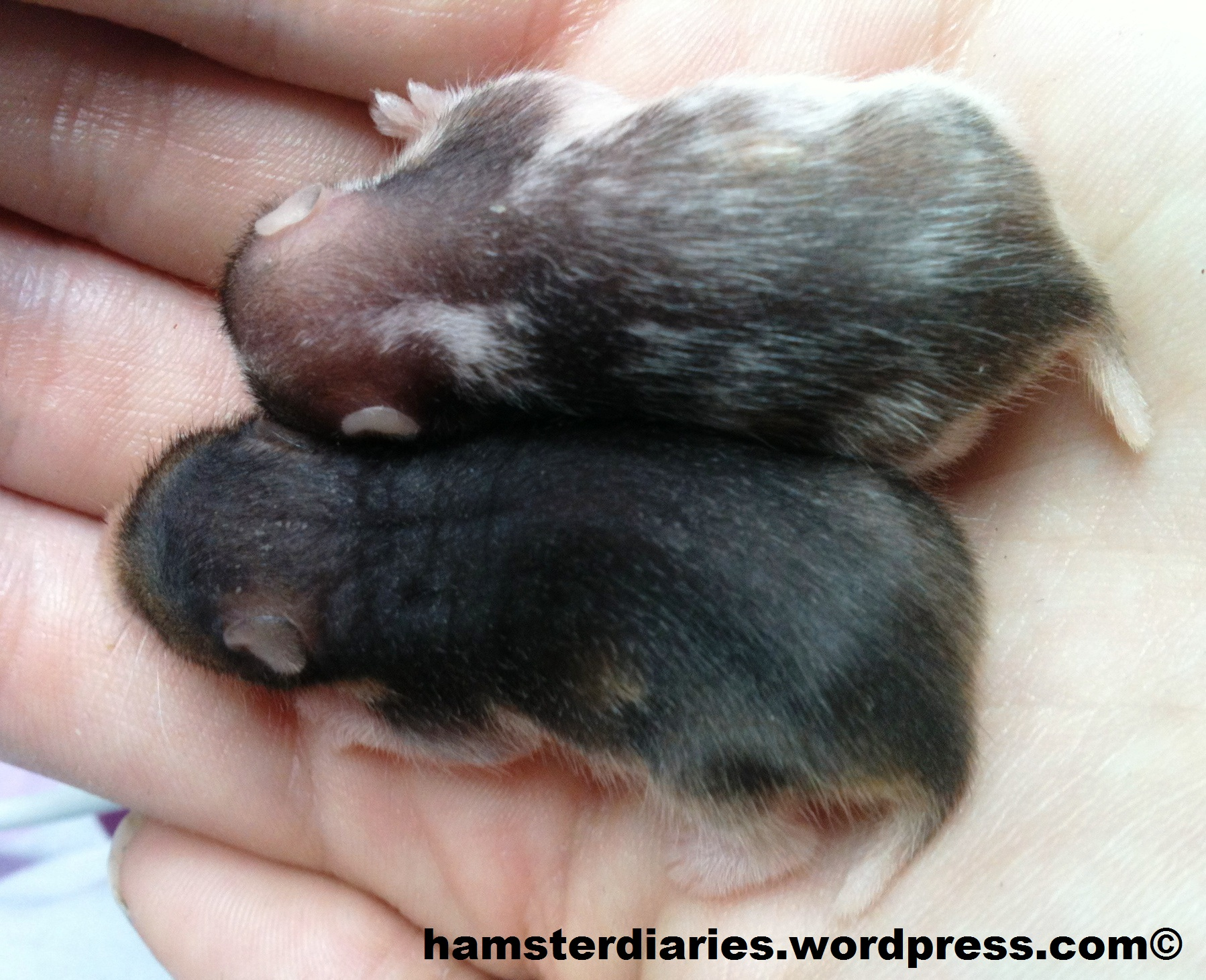 baby hamsters | HamsterDiaries