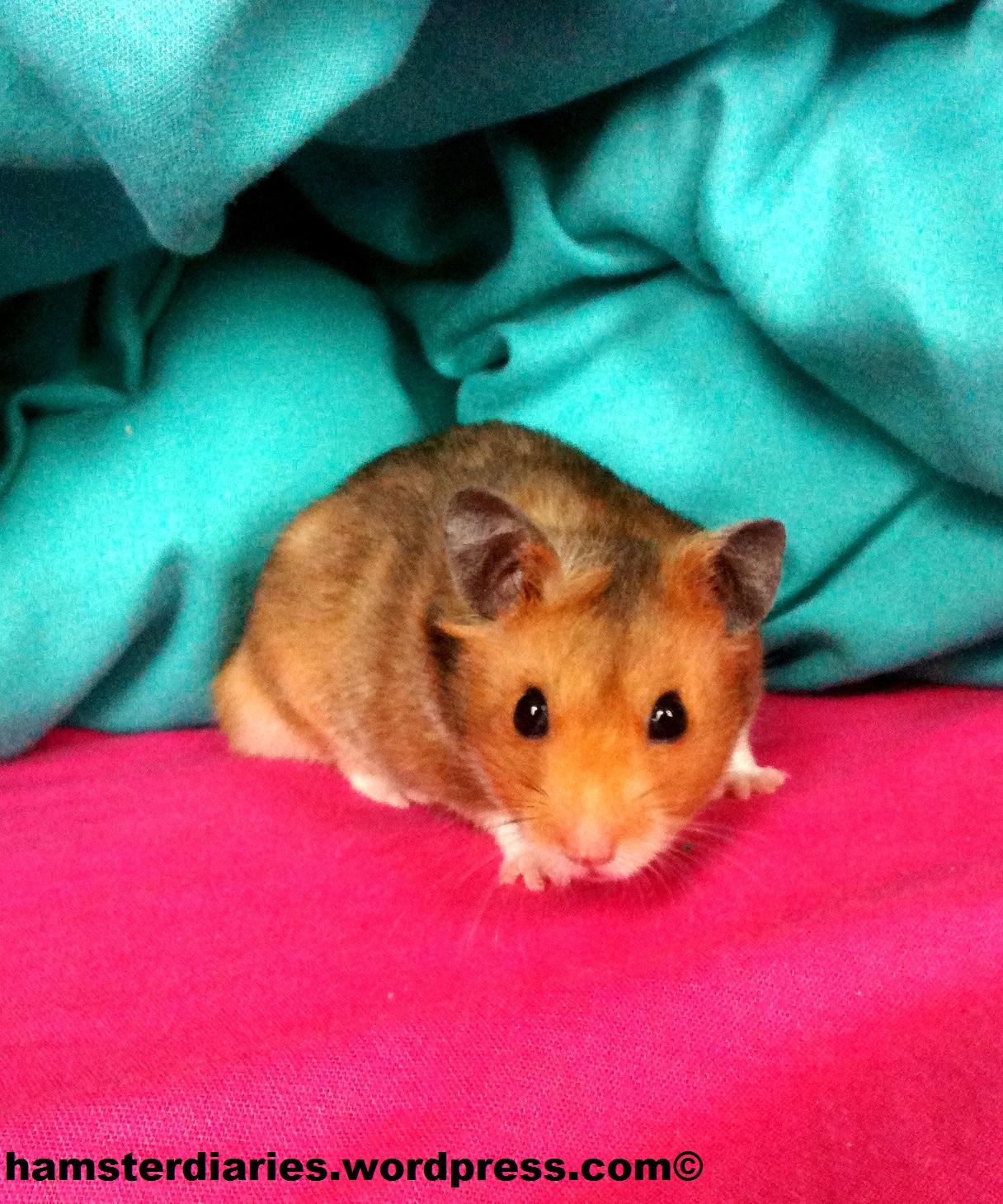 sex hamster naked chat