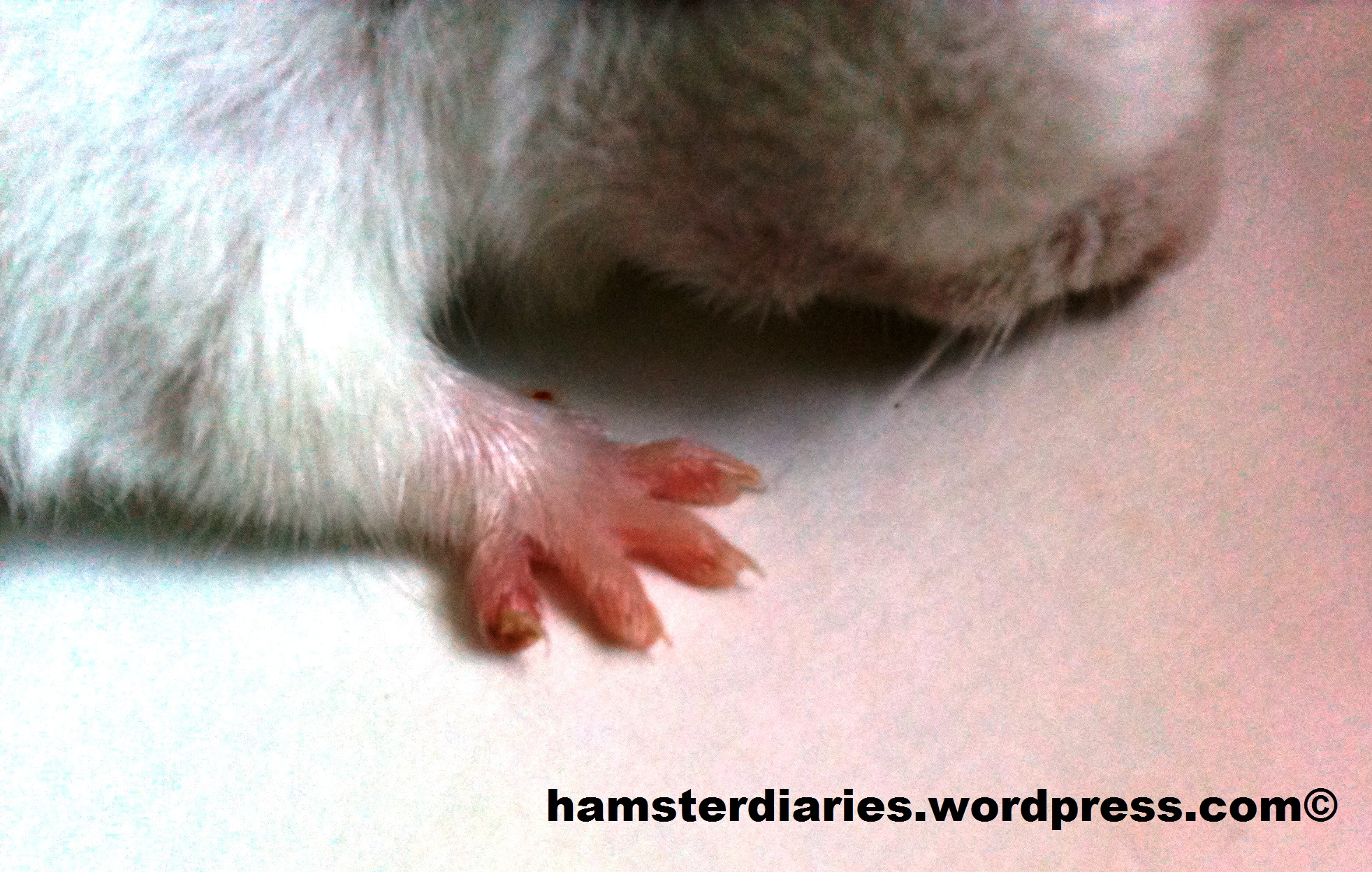 Hamster Nails Hamsterdiaries If You Look Closely Can See The Broken Right Leg But His Nail On Far Left All Wonky Now