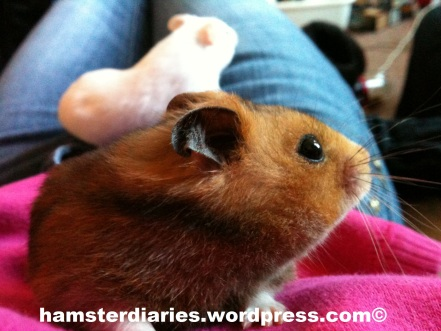 Two male hamsters.. NOT together! Coz that would be bad!