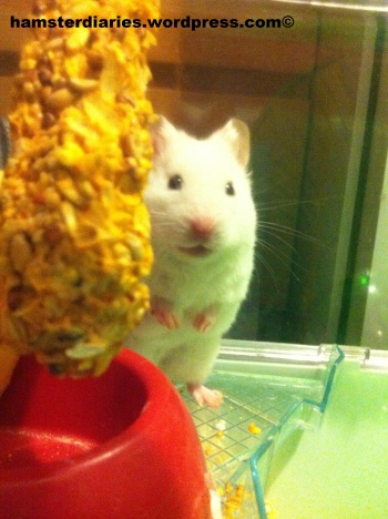 Deaf Hamster Hiding Cos He's SHY!!! :)
