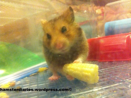 dexter eating sweetcorn