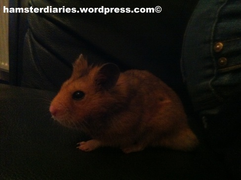 Hamster watching the TV ?!