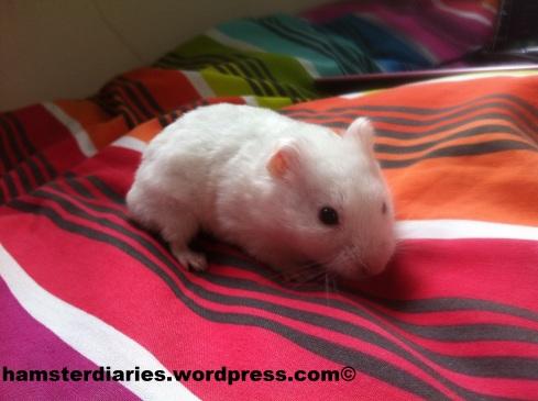 Deaf Hamster