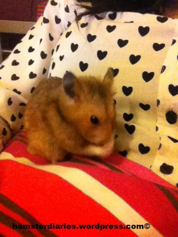 Dexter cleaning on my lap, cutiepie!