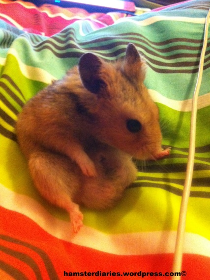 Chubby hamster, you comfy!! :D