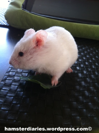 your hamster fix :P