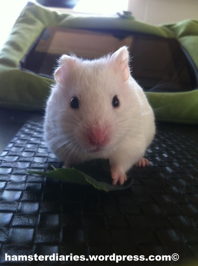 Hamster eating greens! YUMYUM