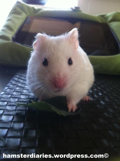 Hamster eating greens! YUMYUM