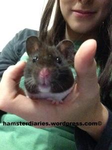 Banjo the Hamster