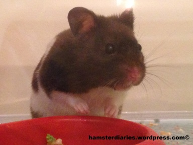 Banjo the hamster, enjoying the fame!