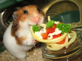 Lucy the Hamster eating pasta