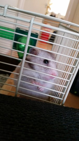 Cookie the famous hamster!! :D
