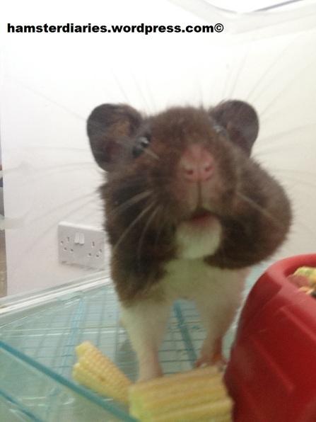 Banjo hamster - famous!