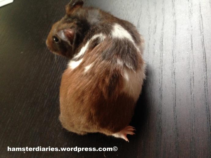 hamster scent glands - hamster moles